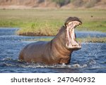 Africa  Botswana Angry...
