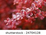 Frosty Leaves Of Barberry Early ...