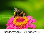 Bumblebee bee on the flower...