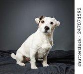 cute adult jack russell terrier ...   Shutterstock . vector #247071592