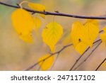Yellow Birch Leaves On Branch
