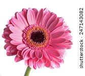 pink gerbera | Shutterstock . vector #247143082