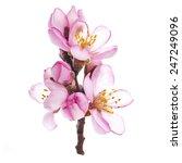 Almond Blossoms. Almond Tree...