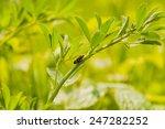 cercopis sanguinolenta  | Shutterstock . vector #247282252