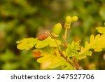 quercus petraea  quercus
