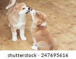 Stock photo two japanese akita inu breed little puppies kiss 247695616