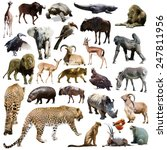 set of leopard and other... | Shutterstock . vector #247811956