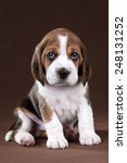 Stock photo puppy looking up with sad eyes 248131252