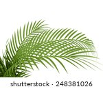 Tropical Plant Fernleaf Hedge...