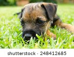 Border Terrier Puppy Lying In...