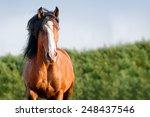 Portrait Of Running Bay Horse...