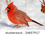 A Lone Male Cardinal Finding...