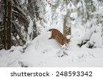Luchs  Lynx Lynx  Walking In...