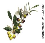 branch of olive tree with ... | Shutterstock . vector #248666482