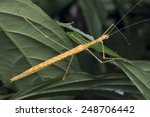 macro image of a stick insect... | Shutterstock . vector #248706442
