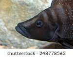 Small photo of Portrait of Altolamprologus fish