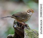 Small photo of Beautiful bird Puff throated babbler on wood (Pellorneum ruficeps)
