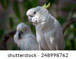 Beautiful White Cockatoo ...