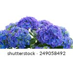 Border Of Blue Hortensia...