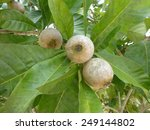 Small photo of Genipa americana , Genipa americana L unripes fruits on tree, River bank Rio Negro, Amazonas Brazil