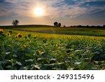 sunflower field at sunset in... | Shutterstock . vector #249315496