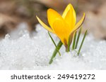 Blossom Yellow Crocus On The...