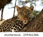 Leopard In A Tree. Intended Fo...