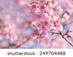 wild himalayan cherry  prunus... | Shutterstock . vector #249704488