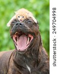 Stock photo funny american staffordshire terrier dog with open mouth and little kitten on its head 249704998