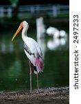 pelican | Shutterstock . vector #2497233