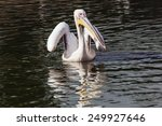 Pelican About To Fly. A...