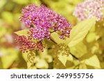 Small photo of Japanese Spiraea (Rosaceae Spiraea Japonica)