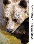 brown bear with sad eyes in zoo   Shutterstock . vector #250030672