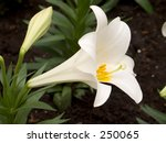 This is a close-up of an Easter Lilly. - stock photo