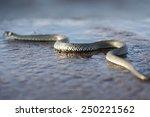 non venomous grass snake also... | Shutterstock . vector #250221562