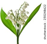 lily of the valley  convallaria ... | Shutterstock . vector #250248622