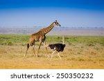Giraffe And Ostrich