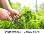 Woman Gathers Fresh Herbs In...