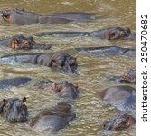 Hippos   Serengeti Wildlife...