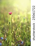 Wild poppies against morning light / Gentle summer background - stock photo