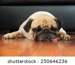 Close Up Face Of Cute Pug Pupp...