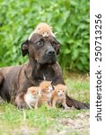Stock photo american staffordshire terrier dog with little kitten on its head 250713256