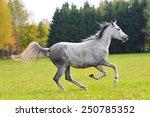 Grey Arabian Horse In Autumn...
