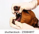 A Dachshund breed dog getting his teeth examined - stock photo