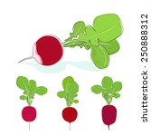 radish  three kinds of radishes ... | Shutterstock .eps vector #250888312