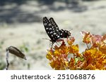 Small photo of Butterfly-Papilio Pharmacophagus Antenor, Madagascar