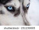 Siberian Husky Close Up