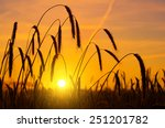 Wheat Ears At Sunrise In...