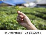 Fresh Tea Leaves In Hand  Over...