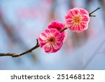 Two Red Plum Flowers Closeup